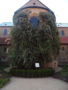 Der Tausendjährige Rosenstock ist ein sagenumwobenes Wildrosengewächs auf dem Domfriedhof in Hildesheim.