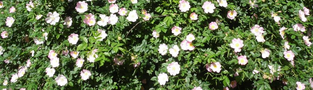 cropped-tausenjähriger-rosenstock-hildesheimer-rose.jpg