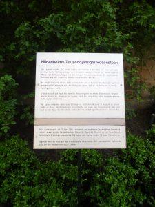Hildesheims-Tausendjähriger-Rosenstock